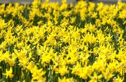 Τομέας των κίτρινων ναρκίσσων την άνοιξη Στοκ φωτογραφία με δικαίωμα ελεύθερης χρήσης