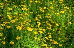 Τομέας των κίτρινων λουλουδιών κόσμου στοκ φωτογραφία με δικαίωμα ελεύθερης χρήσης