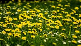 Τομέας των κίτρινων πικραλίδων και της πράσινης χλόης στοκ εικόνα