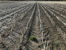 Τομέας των καλαμιών στα τέλη του χειμώνα, Somerset Αγγλία, UK στοκ εικόνα με δικαίωμα ελεύθερης χρήσης