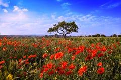 Τομέας των κόκκινων παπαρουνών και ένα δέντρο ανάπτυξης ενάντια σε έναν μπλε ουρανό στην Τουρκία Στοκ Εικόνες