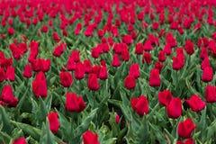 Τομέας των κόκκινων τουλιπών μετά από τη βροχή την άνοιξη Φρέσκια πράσινη χλόη Κόκκινο λουλούδι τουλιπών just rained Τομέας τουλι στοκ φωτογραφία με δικαίωμα ελεύθερης χρήσης