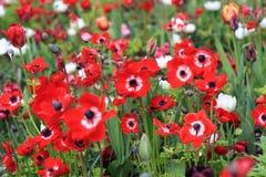 Τομέας των κόκκινων anemones Στοκ Φωτογραφίες