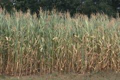 Τομέας των μερικώς στεγνωμένων και καφετιών cornstalks στοκ φωτογραφίες