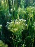 Τομέας των μικρών άσπρων λουλουδιών Στοκ Εικόνα