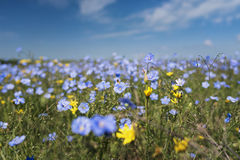 Τομέας των μπλε λουλουδιών λιναριού Στοκ Εικόνες