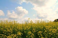 Τομέας των λουλουδιών μουστάρδας Στοκ Φωτογραφία