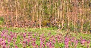 Τομέας των λουλουδιών την πρώιμη άνοιξη Στοκ φωτογραφία με δικαίωμα ελεύθερης χρήσης