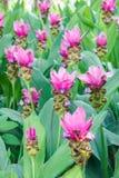 Τομέας των λουλουδιών τουλιπών του Σιάμ που ανθίζουν στον κήπο φύσης Στοκ Φωτογραφία