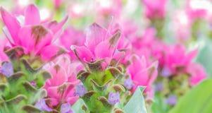 Τομέας των λουλουδιών τουλιπών του Σιάμ που ανθίζουν στον κήπο φύσης Στοκ Φωτογραφίες