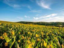Τομέας των λουλουδιών arrowleaf balsamroot Στοκ φωτογραφίες με δικαίωμα ελεύθερης χρήσης