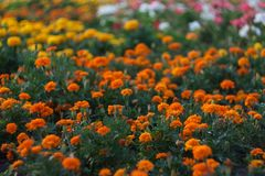 Τομέας των πορτοκαλιών και κίτρινων λουλουδιών, marigolds στον κήπο το καλοκαίρι στοκ εικόνα με δικαίωμα ελεύθερης χρήσης