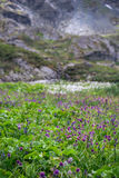 Τομέας των πορφυρών λουλουδιών στα βουνά Altai, Ρωσία Στοκ Εικόνες