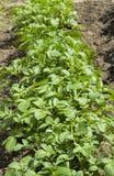 Τομέας των πράσινων θάμνων πατατών Στοκ Φωτογραφία