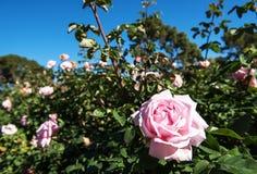 Τομέας των ρόδινων τριαντάφυλλων με το μπλε ουρανό Στοκ Φωτογραφία