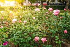 Τομέας των ρόδινων τριαντάφυλλων Στοκ φωτογραφία με δικαίωμα ελεύθερης χρήσης