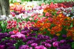 Τομέας των φωτεινών πολύχρωμων τουλιπών Άνοιξη και κηπουρική στοκ εικόνες με δικαίωμα ελεύθερης χρήσης