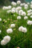 Τομέας των cottongrass στα βουνά Στοκ Εικόνες
