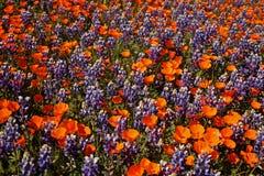 Τομέας των wildflowers Καλιφόρνιας στοκ εικόνες
