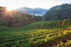 Τομέας φραουλών στο βουνό doi angkhang, chiangmai: Ταϊλάνδη Στοκ φωτογραφίες με δικαίωμα ελεύθερης χρήσης