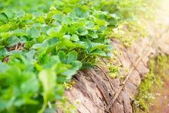 Τομέας φυτειών φραουλών το πρωί στο ANG Khang Chia Doi Στοκ εικόνες με δικαίωμα ελεύθερης χρήσης