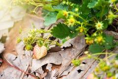 Τομέας φυτειών φραουλών το πρωί στο ANG Khang Chia Doi Στοκ Εικόνες