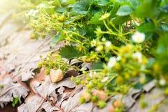 Τομέας φυτειών φραουλών το πρωί στο ANG Khang Chia Doi Στοκ Εικόνα