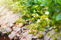 Τομέας φυτειών φραουλών το πρωί στο ANG Khang Chia Doi Στοκ Φωτογραφία