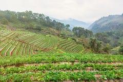 Τομέας φυτειών φραουλών το πρωί στο ANG Khang Chia Doi Στοκ φωτογραφία με δικαίωμα ελεύθερης χρήσης