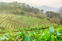 Τομέας φυτειών φραουλών το πρωί στο ANG Khang Chia Doi Στοκ φωτογραφίες με δικαίωμα ελεύθερης χρήσης