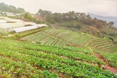 Τομέας φυτειών φραουλών το πρωί στο ANG Khang Chia Doi Στοκ εικόνα με δικαίωμα ελεύθερης χρήσης