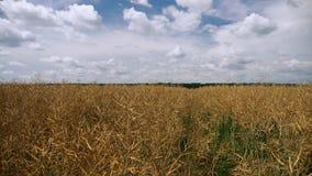 Τομέας φυτειών Canola απόθεμα βίντεο
