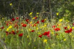 Τομέας Anemone στο δάσος Στοκ Φωτογραφία