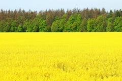 Τομέας Canola, κίτρινα λουλούδια βιασμών Στοκ εικόνες με δικαίωμα ελεύθερης χρήσης