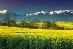 Τομέας Canola με τα υψηλά χιονώδη βουνά, Fagaras, Carpathians, Τρανσυλβανία, Ρουμανία Στοκ Εικόνες