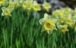 Τομέας Daffodil Στοκ Φωτογραφία