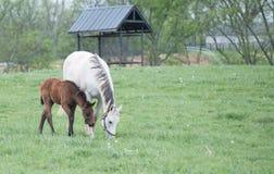 Τομέας Foals Στοκ Εικόνα