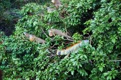 Τομέας Iguana στοκ φωτογραφία με δικαίωμα ελεύθερης χρήσης