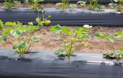 Τομέας IV φραουλών έδαφος χάμπουργκερ στοκ φωτογραφία με δικαίωμα ελεύθερης χρήσης