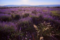 Τομέας Lavander της Κριμαίας λουλούδι πεδίων Στοκ Φωτογραφία