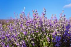 Τομέας Lavander της Κριμαίας λουλούδι πεδίων Στοκ φωτογραφίες με δικαίωμα ελεύθερης χρήσης
