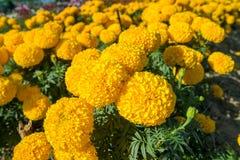 Τομέας marigolds Στοκ φωτογραφία με δικαίωμα ελεύθερης χρήσης