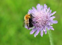 Τομέας Scabious και Bumblebee Στοκ Φωτογραφίες