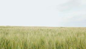 Τομέας spikelets που κινούνται από τον αέρα, την έννοια της φύσης ομορφιάς, τις γεωργικές συγκομιδές σιταριού, το κριθάρι και τη  φιλμ μικρού μήκους