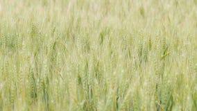 Τομέας spikelets που κινούνται από τον αέρα, την έννοια της φύσης ομορφιάς, τις γεωργικές συγκομιδές σιταριού, το κριθάρι και τη  απόθεμα βίντεο