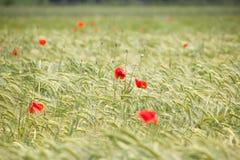 Τομέας Wheal με τις κόκκινες παπαρούνες στοκ εικόνα με δικαίωμα ελεύθερης χρήσης