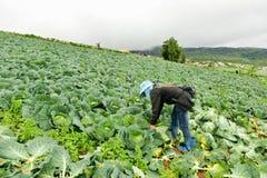 Τομείς λάχανων με τους εργαζομένους που συγκομίζουν το λάχανο στο καλλιεργήσιμο έδαφος, στις 3 Ιουνίου 2016 Στοκ φωτογραφία με δικαίωμα ελεύθερης χρήσης