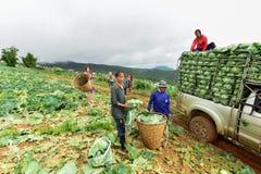 Τομείς λάχανων με τους εργαζομένους που συγκομίζουν το λάχανο στο καλλιεργήσιμο έδαφος Στοκ φωτογραφία με δικαίωμα ελεύθερης χρήσης