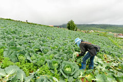 Τομείς λάχανων με τους εργαζομένους που συγκομίζουν το λάχανο στο καλλιεργήσιμο έδαφος, στις 3 Ιουνίου 2016 Στοκ Εικόνες
