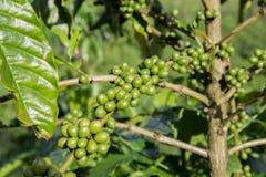 Τομείς δέντρων καφέ στο Βιετνάμ Στοκ εικόνες με δικαίωμα ελεύθερης χρήσης